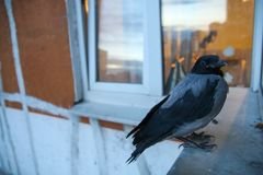 Die Krähe flog in und saß auf dem baikon stockbild