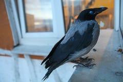 Die Krähe flog in und saß auf dem baikon lizenzfreies stockbild