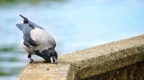 Die Krähe nahm das pigeons& x27; Lebensmittel stockfotos