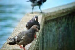 Die Krähe nahm das pigeons& x27; Lebensmittel stockbilder
