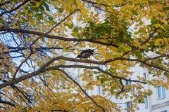 Die Krähe sitzt auf einer Niederlassung eines gelben der HerbstLindenbaums und Krächzen in seiner eigenen Sprache lizenzfreie stockfotografie