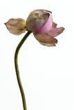 Die kraurotic Lotosblume Stockbild