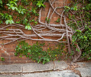 Die Kriechenfeige, die aus Beton heraus wächst und up eine Backsteinmauer Lizenzfreies Stockbild