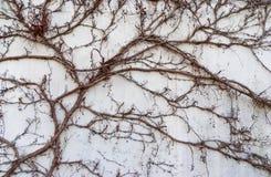 Die Kriechpflanze auf Steinwand lizenzfreies stockfoto