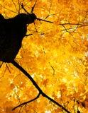 Die Krone des Ahornbaums im Herbst, helles goldenes Laub auf Himmel Lizenzfreie Stockfotos