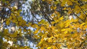 Die Krone von Herbstbäumen im Sonnenlicht stock video footage