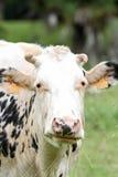 Die Kuh Stockfotos