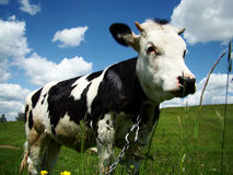 Die Kuh Lizenzfreies Stockfoto