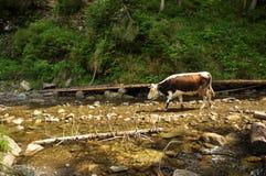 Die Kuh Lizenzfreie Stockfotografie
