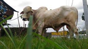 Die Kuh Lizenzfreie Stockfotos