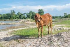 Die Kuh auf dem Gebiet nach Ernte in Südostasien, Thailand Lizenzfreie Stockfotos