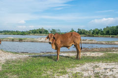 Die Kuh auf dem Gebiet nach Ernte in Südostasien, Thailand Lizenzfreies Stockbild