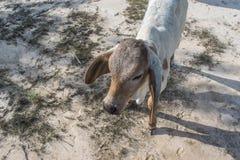 Die Kuh auf dem Gebiet nach Ernte in Südostasien, Thailand Lizenzfreies Stockfoto