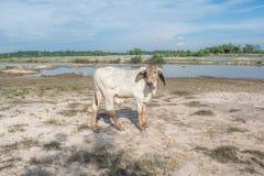 Die Kuh auf dem Gebiet nach Ernte in Südostasien, Thailand Lizenzfreie Stockbilder