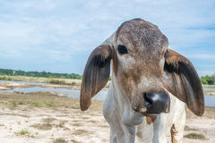 Die Kuh auf dem Gebiet nach Ernte in Südostasien, Thailand Stockbilder