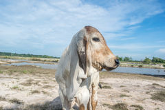 Die Kuh auf dem Gebiet nach Ernte in Südostasien, Thailand Stockfotos