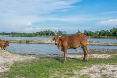 Die Kuh auf dem Gebiet nach Ernte in Südostasien, Thailand Lizenzfreie Stockfotografie