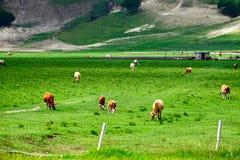 Die Kuh auf der breiten Wiese Stockfoto