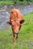 Die Kuh auf einer Weide nahe Gebirgsfluss Lizenzfreie Stockfotos