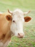 Die Kuh auf einer Wiese Stockfoto
