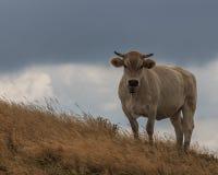 Die Kuh auf die Oberseite des Berges, der mich mit einem überraschten Gesicht betrachtet Lizenzfreies Stockfoto