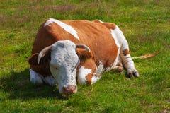 Die Kuh, bedeckt mit Fliegen, schläft auf einer grünen Wiese lizenzfreies stockbild