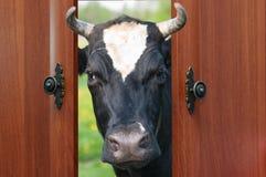 Die Kuh betrachtet der Tür Stockfotografie