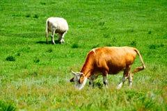 Die Kuh in der Sommersteppe Lizenzfreie Stockfotografie