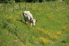 Die Kuh geht auf einem Gebiet mit blühenden Butterblumeen und Wiesen-Kerbel im Frühjahr stockbild