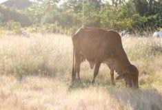 Die Kuh isst Gras in der Wiese Stockbilder