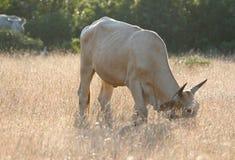 Die Kuh isst Gras in der Wiese Stockfotografie