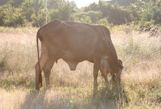 Die Kuh isst Gras in der Wiese Lizenzfreie Stockfotografie
