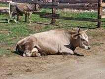 Die Kuh liegt auf der Erde im Schutz Stockfotografie