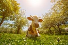 Die Kuh liegt auf einer gr?nen Wiese in einem Apfelgarten, sonniger Tag Nahaufnahme stockbilder