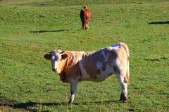 Die Kuh schaut zur Kamera Stockfotografie