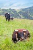 Die Kuh steht auf grünem Gras in den Alpen still Lizenzfreie Stockbilder