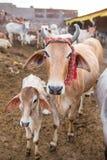 Die Kuh und das Kalb in Goshala Stockfotos