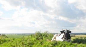 Die Kuh, welche die Milch des Weiden lassens auf Wiese im Bauernhof gibt Stockfoto