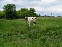 Die ländliche Landschaft ist die weiße Kuh mit braunen Stellen weiden lässt in einer Wiese irgendwo in Ukraine stockbild