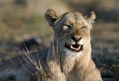 Die Löwin ist verärgert. Lizenzfreies Stockfoto