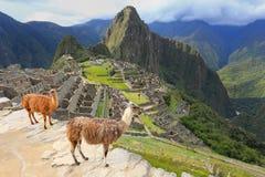 Die Lamas, die bei Machu Picchu stehen, übersehen in Peru Stockfotografie