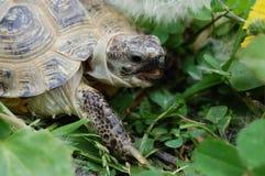 Die Landschildkröte Lizenzfreie Stockfotos