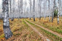 Die Landstraße, die mit gefallenem Gelb bedeckt wird, verlässt im Birkenwald lizenzfreie stockbilder