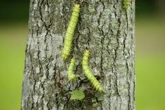 Die Larve der Motte (eriogyna pyretorum) lizenzfreie stockfotos