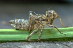 Die Larve einer Libelle Lizenzfreies Stockbild