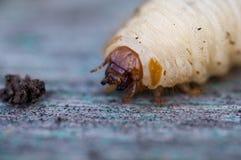 Die Larve eines Käfers Stockbild