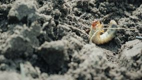Die Larve von kann Käferlügen aus den Grund und mit seinen Tatzen sprechen und kann sich nicht umdrehen stock video footage