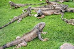 Die Leguane, die den Sommer genießen, verwittern an einem Park Stockbilder