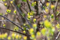 Die leichten Blätter des ersten Frühlinges, die Knospen und die Niederlassungen Hintergrund, Weichzeichnung stockbild