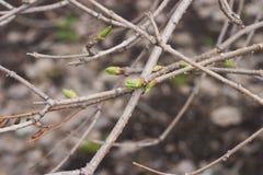 Die leichten Blätter, die Knospen und die Niederlassungen des ersten Frühlinges auf einem braunen BAC Stockbild